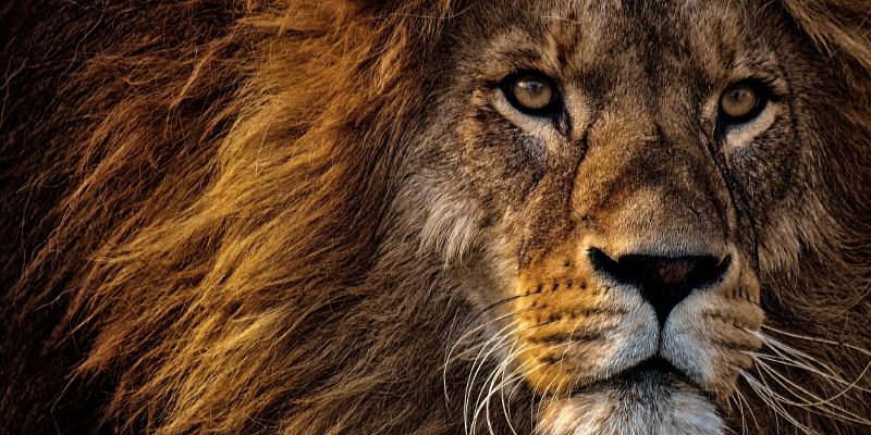 Close-up Photo of a Lion